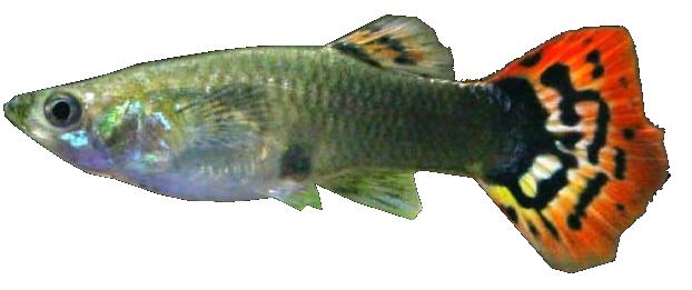 Male guppy